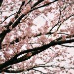 Nikonと桜の週末、また来年までのたのしみに。