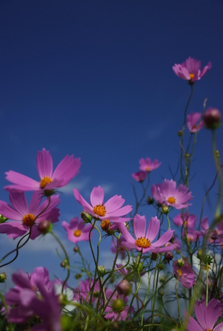 秋桜は綺麗というよりおもしろいんだよね、僕には。