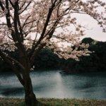 フィルムだから、時差桜。