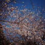 桜は接写より広角のほうが好きになったかもしれない。