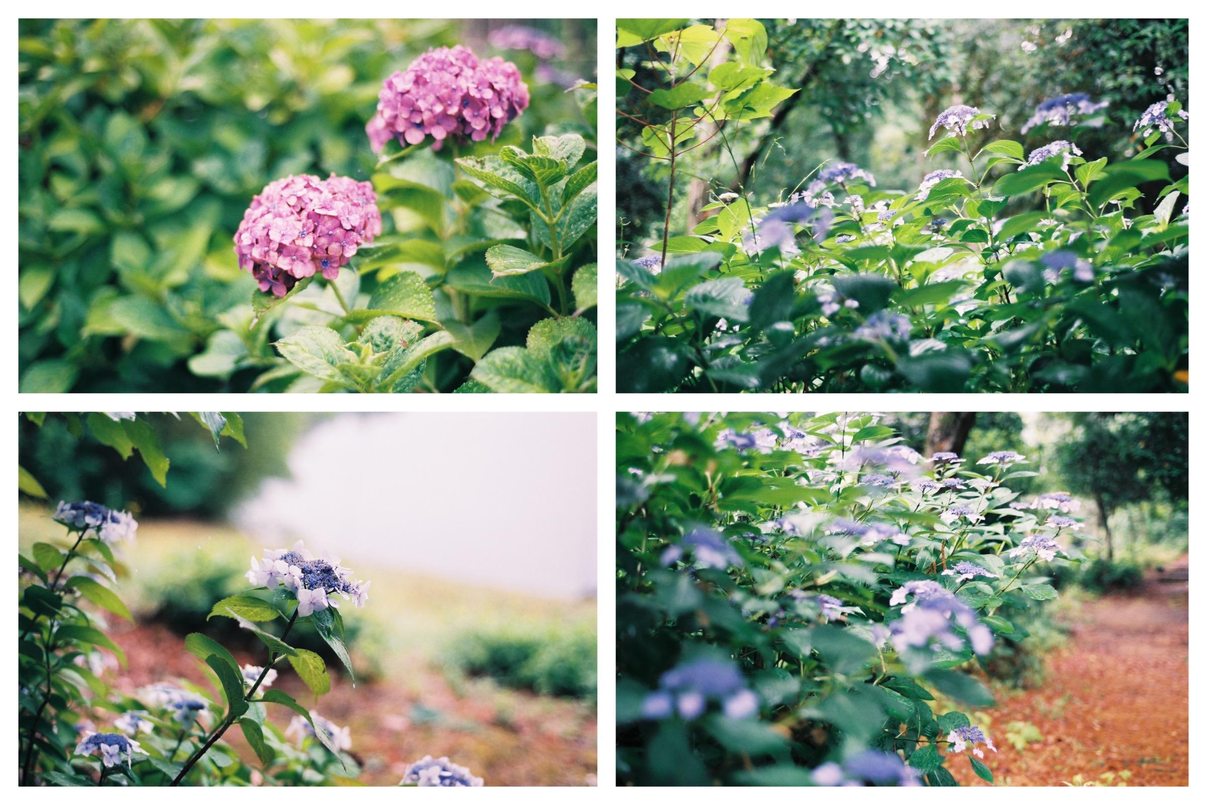 また来年かな、紫陽花たち。それにしてもいい名前だよね。