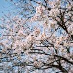 フィルムと桜の記憶。Leica M3+Elmar M 50/3.5