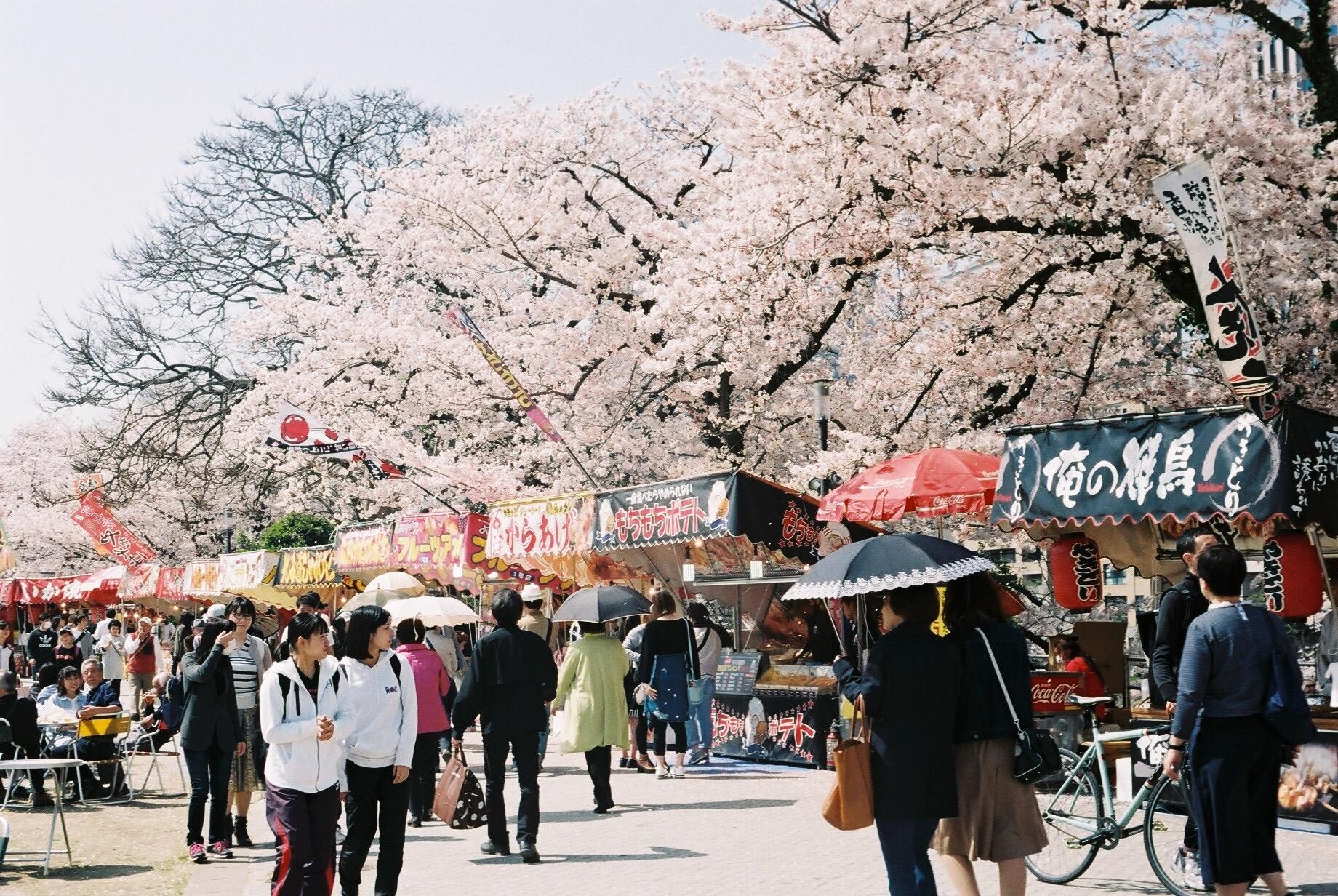 フィルムと桜の記憶。Leica IIIa+Elmar 50/3.5